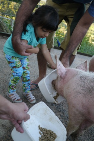 Feeding pigs_Small