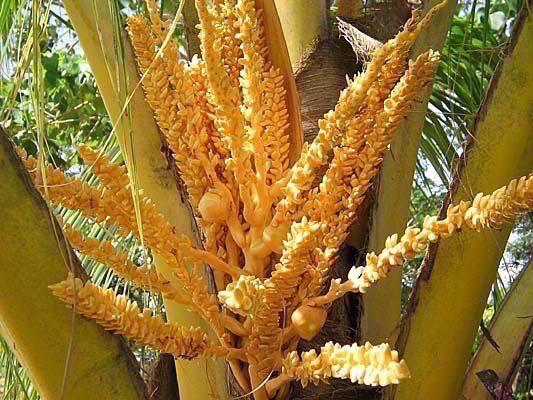 coconut-flowers-medicine.jpg
