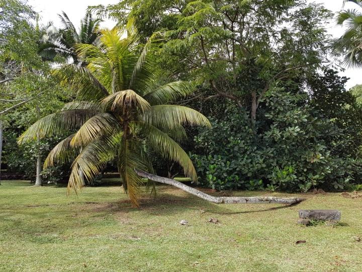senget coconut tree.jpg